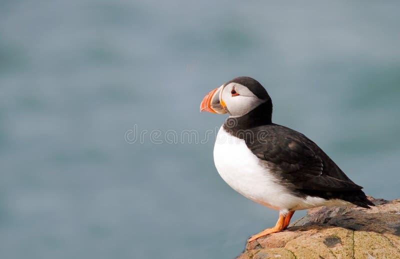Sluit omhoog van een Geïsoleerde Papegaaiduiker op een klippenrand op de Farne-Eilanden royalty-vrije stock fotografie