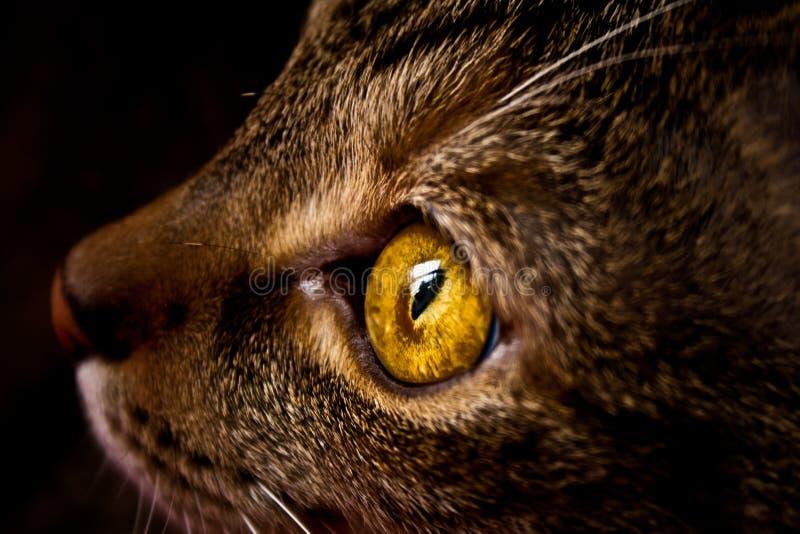 Sluit omhoog van een geacclimatiseerde kat stock foto