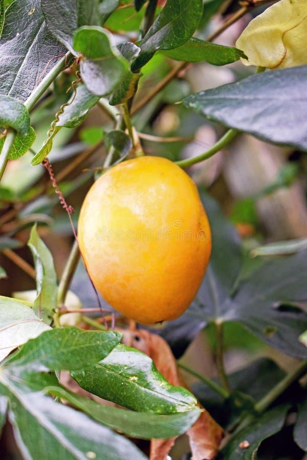 Sluit omhoog van een gele die fruitteelt van de hartstochtsbloem op de struik door groen verlof wordt omringd stock foto's