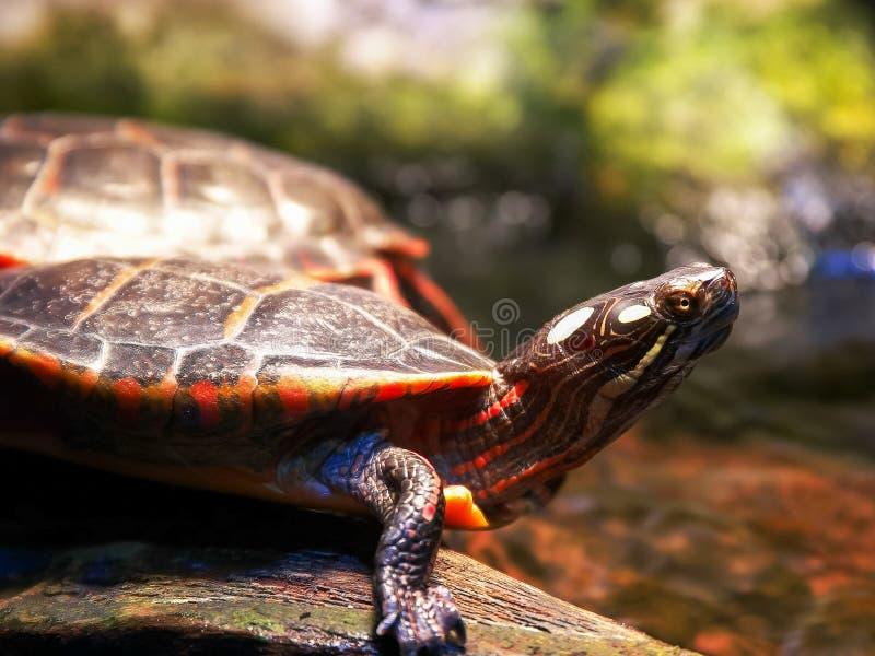 Sluit omhoog van een geschilderde schildpad naast een stroom royalty-vrije stock afbeeldingen