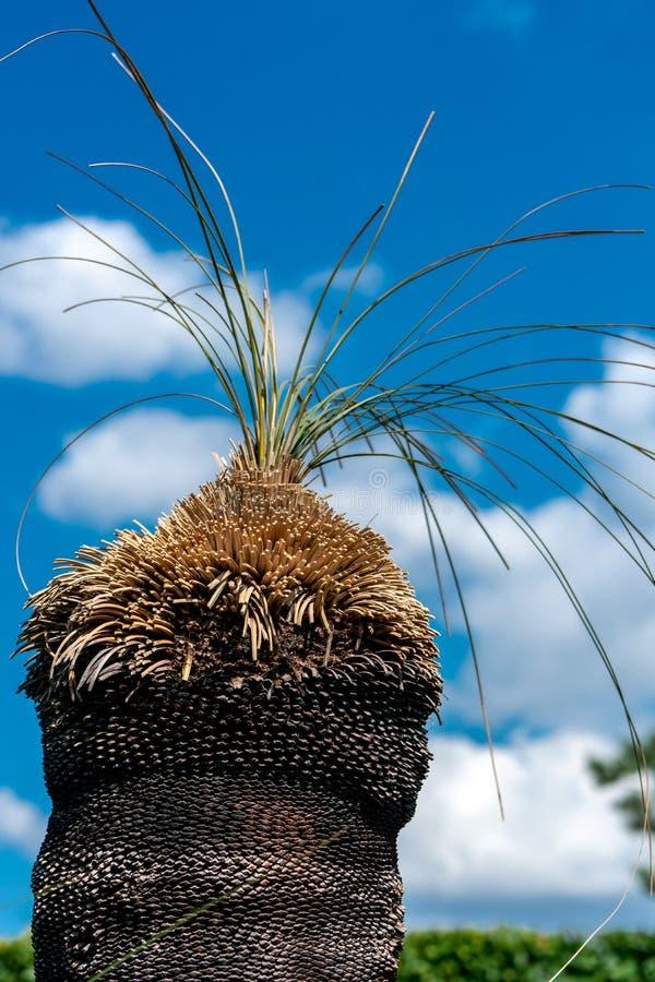 Sluit omhoog van een grasboom Xanthorrhoea stock afbeelding