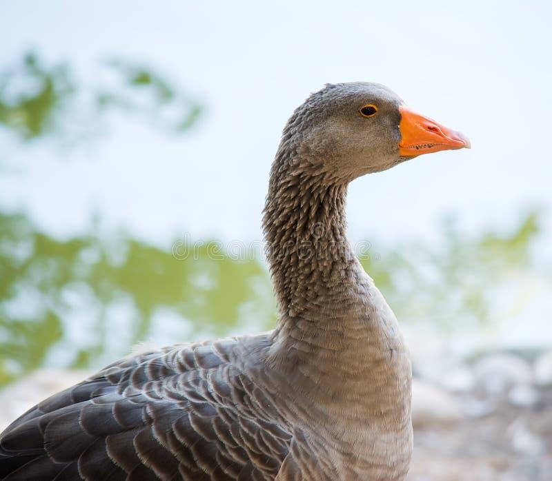 Download Sluit Omhoog Van Een Grijze Eend Stock Foto - Afbeelding bestaande uit vogel, ornithologie: 54085704
