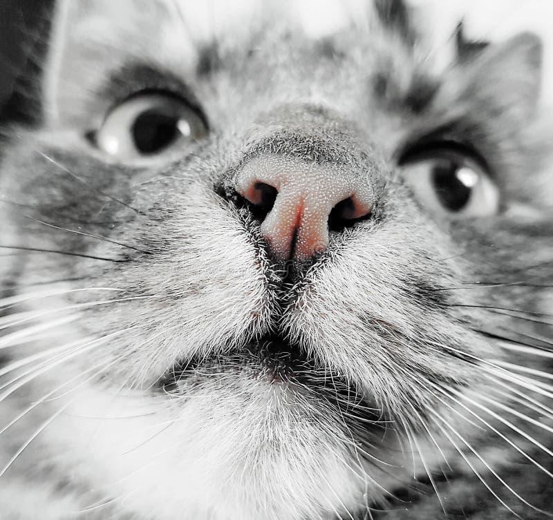Sluit omhoog van een grijze kat royalty-vrije stock afbeelding