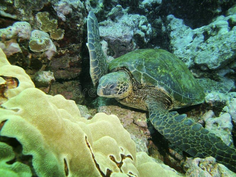 Sluit omhoog van een groene schildpad rustend op zeebedding, HALLO, de V.S. stock fotografie