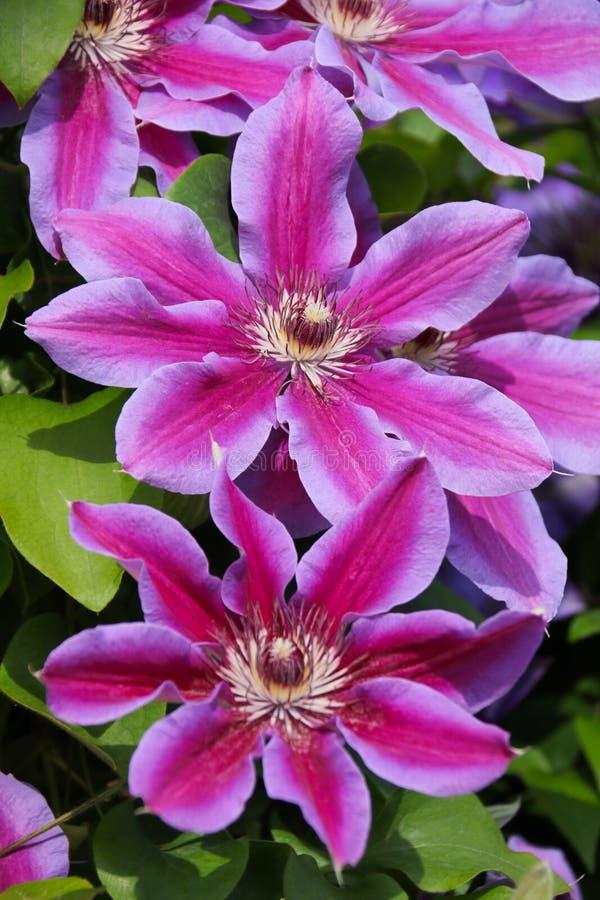 Sluit omhoog van een groot bloeiend clematisvuurwerk stock foto's