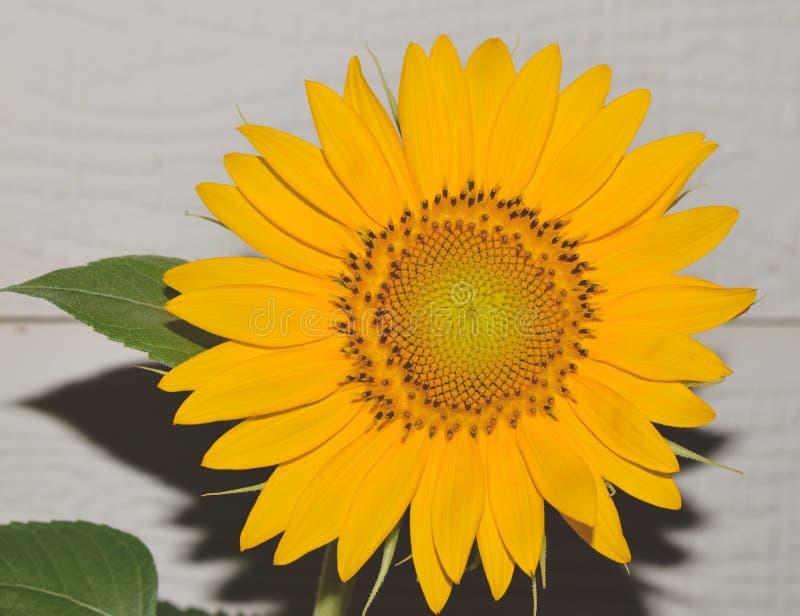 Sluit omhoog van een groot geel zonnebloemhoofd buiten op een zonnige dag royalty-vrije stock fotografie