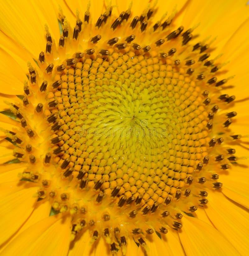 Sluit omhoog van een groot geel zonnebloemhoofd buiten op een zonnige dag royalty-vrije stock afbeeldingen