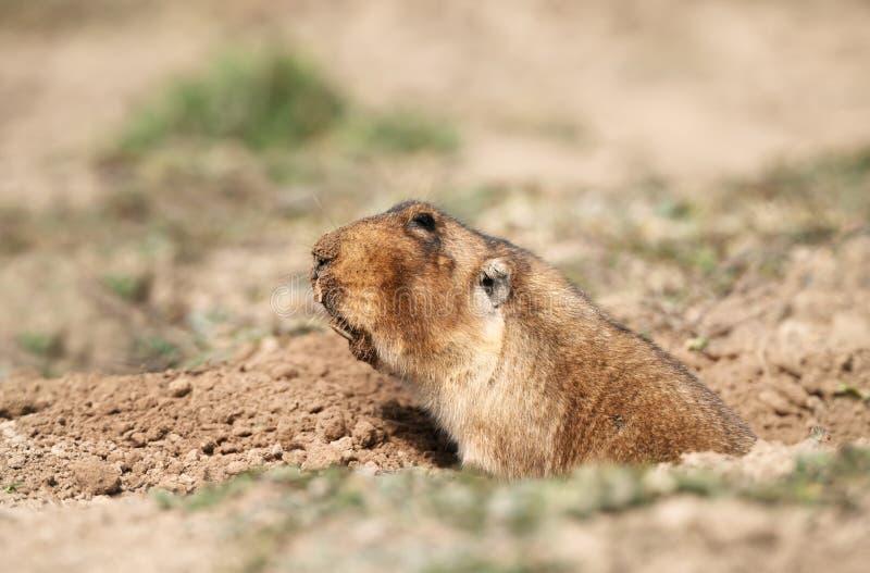 Sluit omhoog van een groot-geleide Afrikaanse mol-rat stock afbeelding