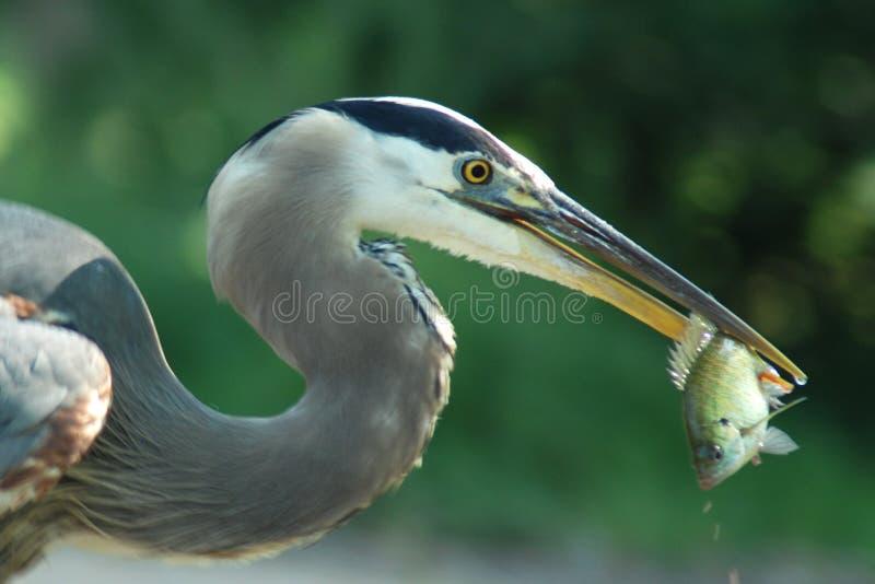Sluit omhoog van een grote blauwe reiger met een vis in zijn mond royalty-vrije stock afbeelding