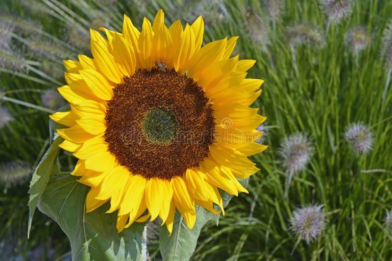 Sluit omhoog van een grote gele zonnebloem in het zonlicht op het bloemgebied stock foto