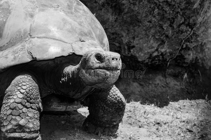 Sluit omhoog van een grote Reuzetortoise/Schildpad van Galapogos stock foto