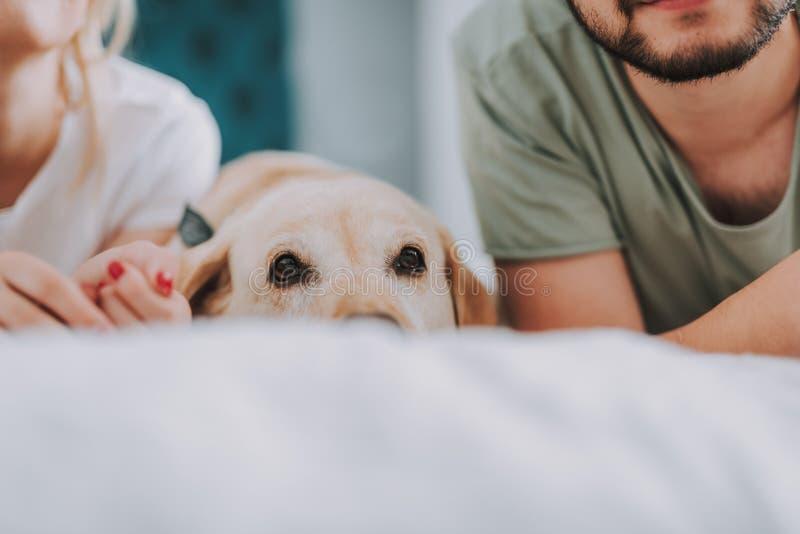 Sluit omhoog van een hond liggend in bed in de ochtend stock fotografie