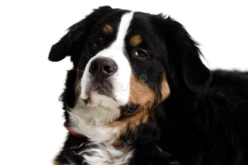 Sluit omhoog van een hondengezicht stock afbeelding