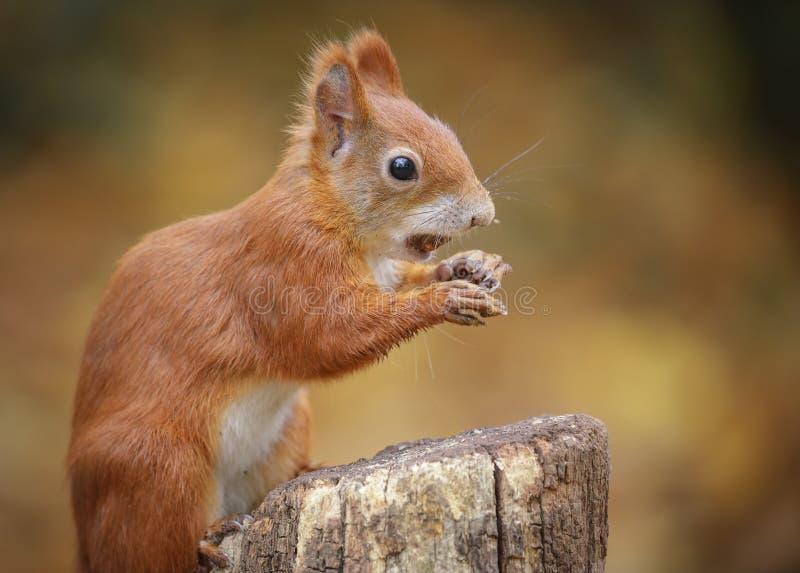 Sluit omhoog van een jonge eekhoorn stock foto's