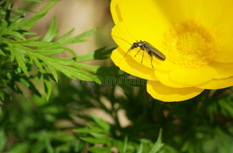 Sluit omhoog van een keverzitting op de mooie gele bloem royalty-vrije stock fotografie
