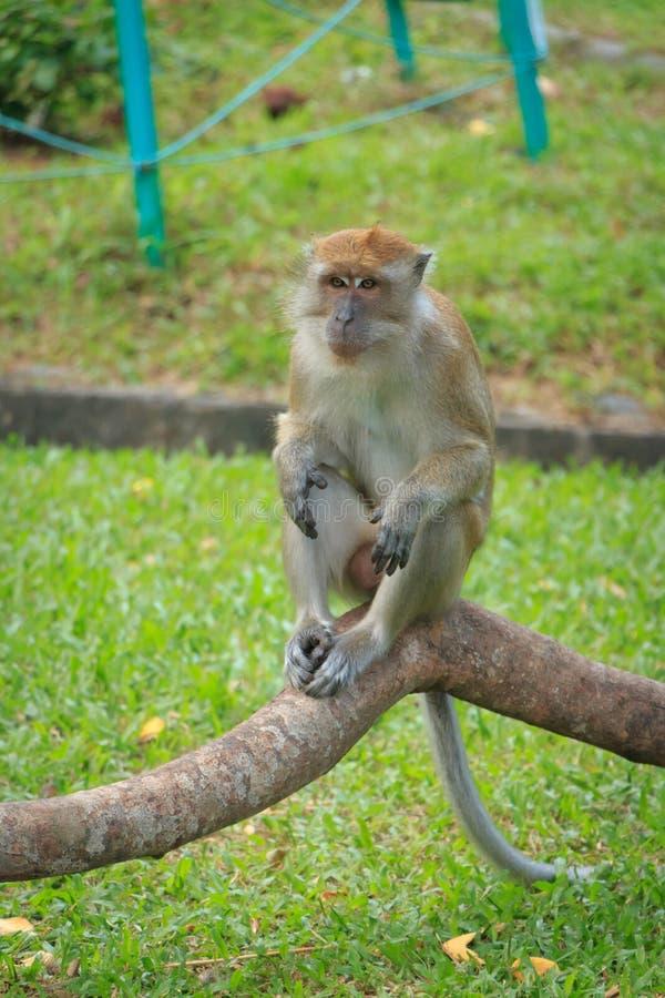 Sluit omhoog van een kleine aapzitting stock afbeeldingen