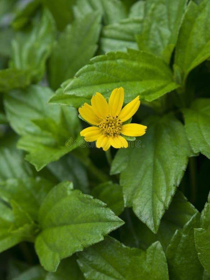 Sluit omhoog van een kleine gele bloem in een overzees van groene bladeren stock fotografie