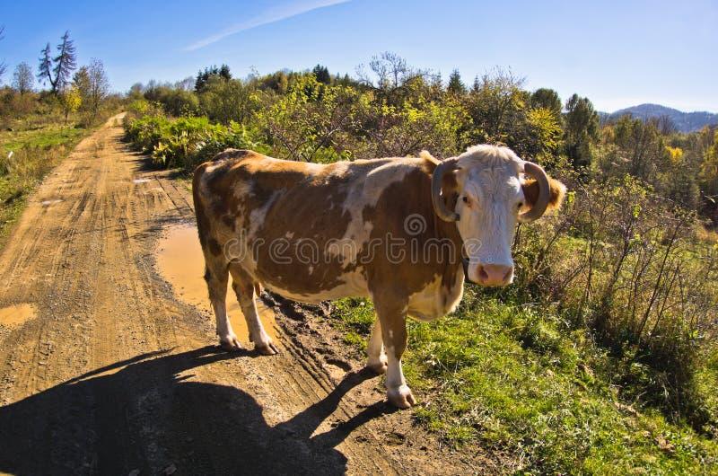 Sluit omhoog van een koe bij zonnige dag op een landweg, Cemerno-berg stock foto's