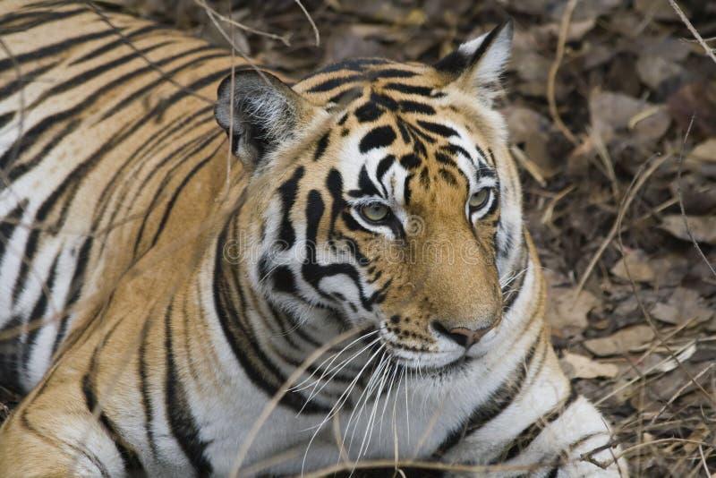 Sluit omhoog van een Koninklijke Tijger van Bengalen royalty-vrije stock foto's
