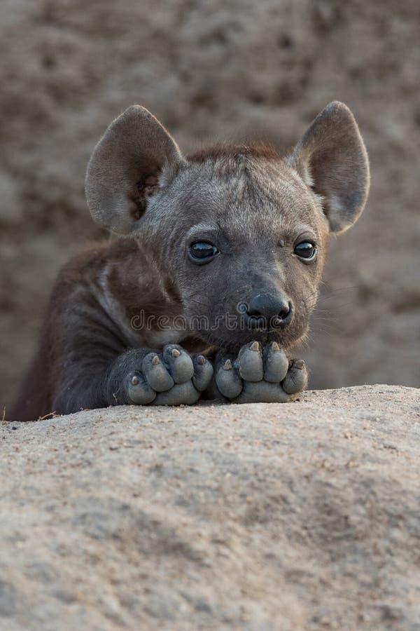 Sluit omhoog van een leuk hyenajong rustend op zijn poten royalty-vrije stock afbeelding