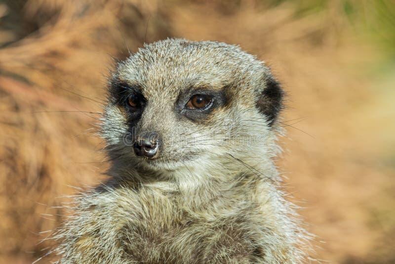 Sluit omhoog van een Meerkat royalty-vrije stock foto's