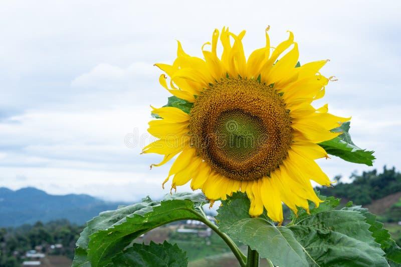 Sluit omhoog van een mooie gele zonnebloem die op het gebied met de duidelijke blauwe hemel met exemplaarruimte bloeien stock foto's