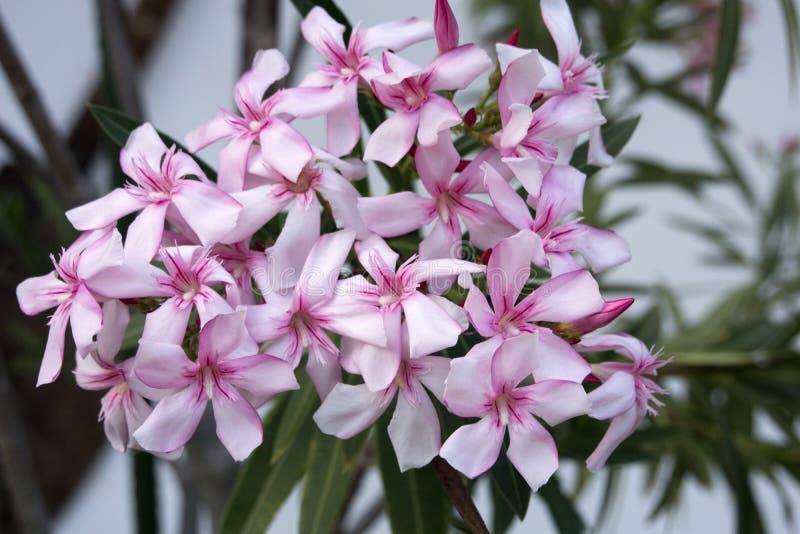 Sluit omhoog van een mooie oleander stock foto's