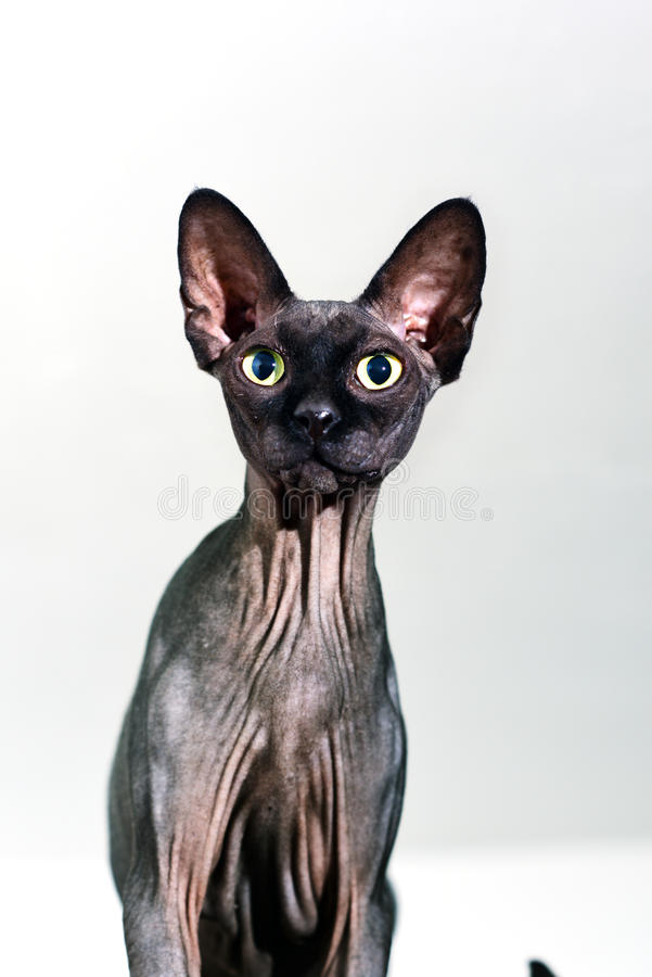 Sluit omhoog van een nieuwsgierige sphynx kale kat stock foto's