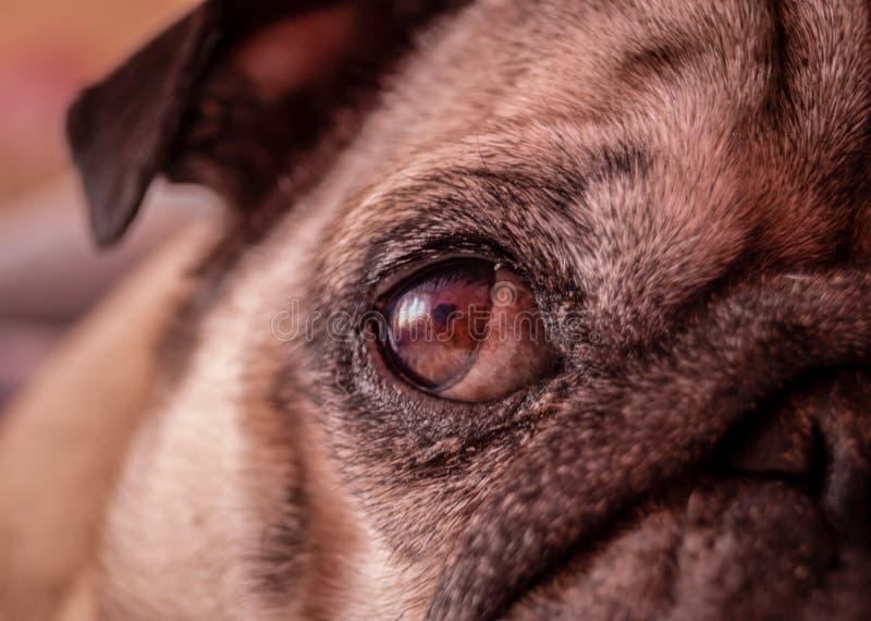 Sluit omhoog van een oog van pug met uitdrukking van het denken, ongelukkig, boos, moordenaar en het vechten instinct stock fotografie