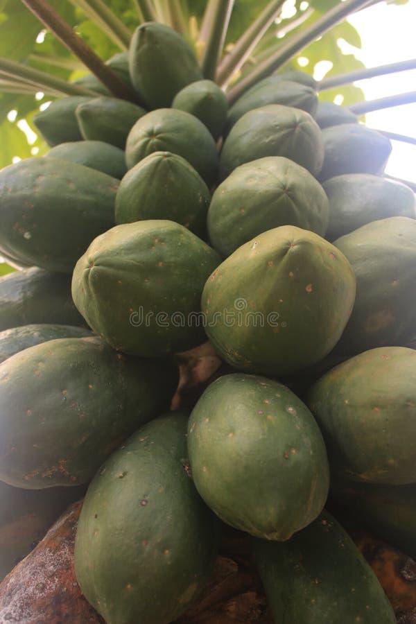 Sluit omhoog van een papajaboom met ladingen van grote groene papaja's die aan rijp vereist stock afbeelding