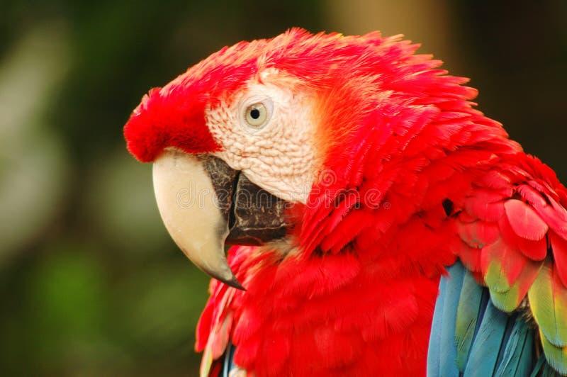 Sluit omhoog van een papegaai stock afbeelding