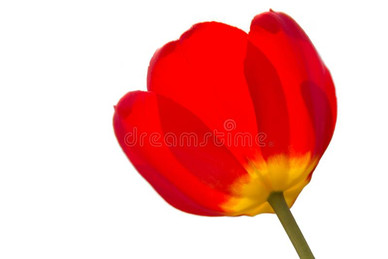 Sluit omhoog van een rode en gele tulp stock foto's