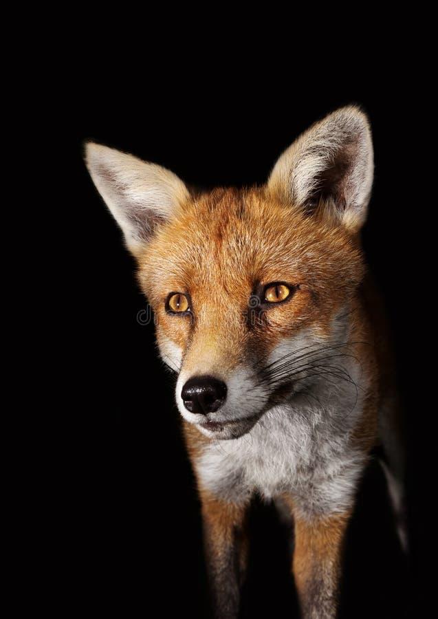 Sluit omhoog van een Rode vos tegen zwarte achtergrond stock afbeelding