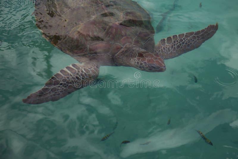 Sluit omhoog van een roodachtige bruine halve zeeschildpadvoorzijde en vinnen in het schaduwrijke water van de aquawintertaling royalty-vrije stock afbeelding