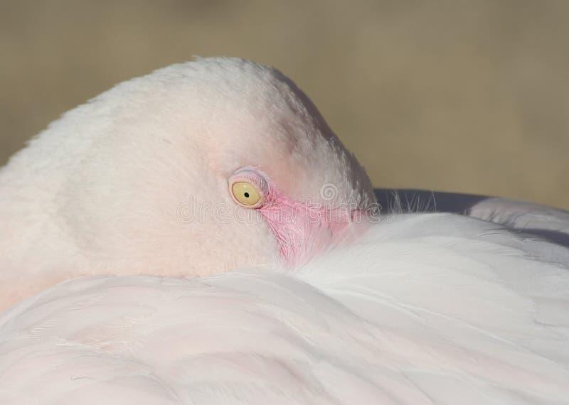Sluit omhoog van een Roze Chileense Flamingo stock afbeeldingen