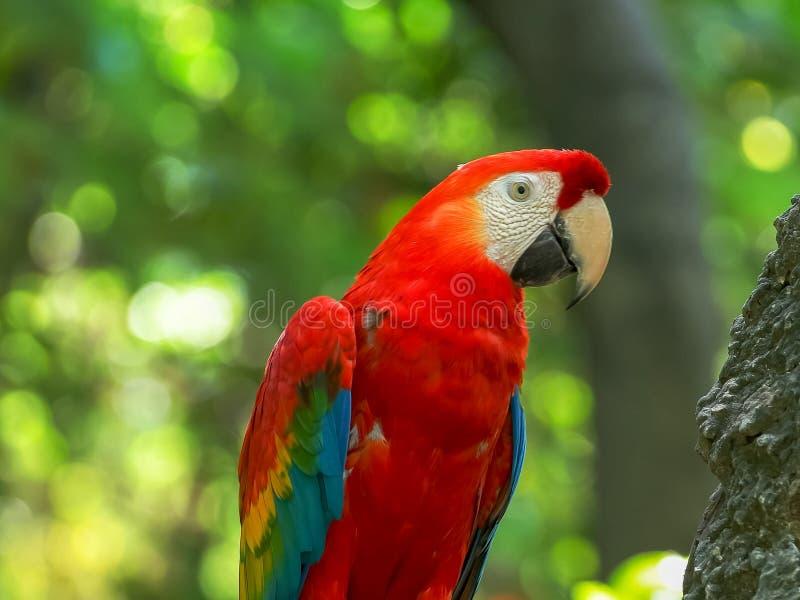 Sluit omhoog van een scharlaken ara in een park in Ecuador royalty-vrije stock foto's