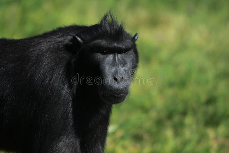 Sluit omhoog van een siamanggibbon stock afbeeldingen