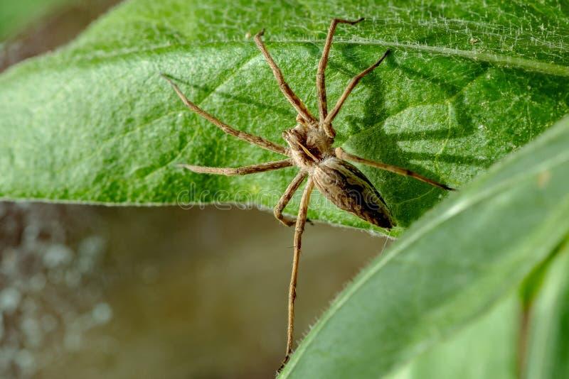 Sluit omhoog van een spin van het Kinderdagverblijfweb op een groen blad royalty-vrije stock afbeelding