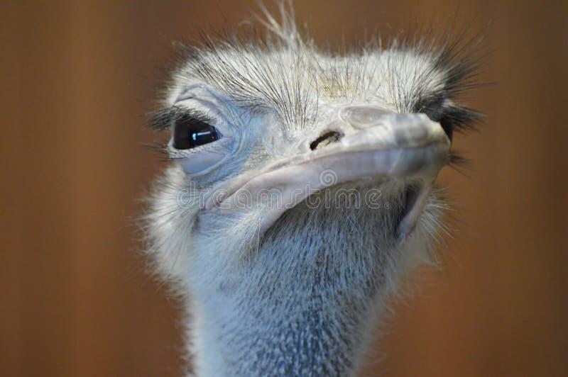 Sluit omhoog van een Struisvogel royalty-vrije stock afbeelding