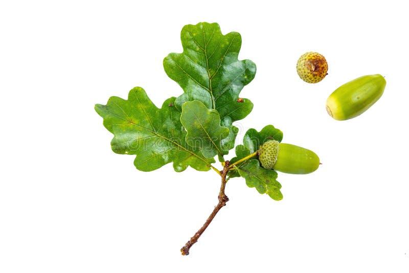 Sluit omhoog van een tak met groene bladeren van een eik en een eikel op de witte achtergrond royalty-vrije stock afbeeldingen