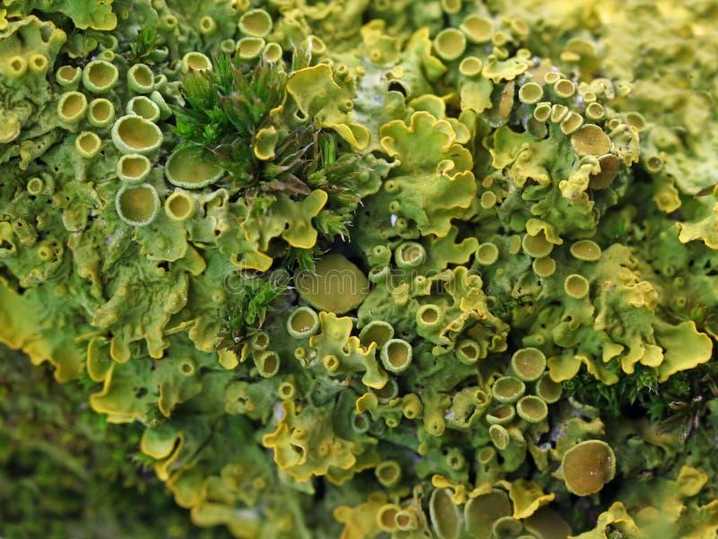 Sluit omhoog van een tak met korstmos en mos stock fotografie