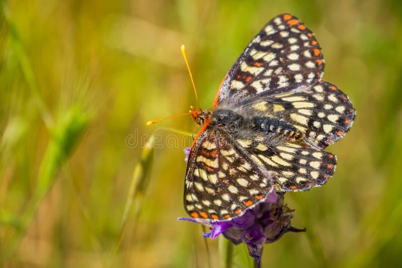 Sluit omhoog van een veranderlijke checkerspotvlinder het drinken nectar van een blauwe wildflower, de baaigebied van San Francis stock foto