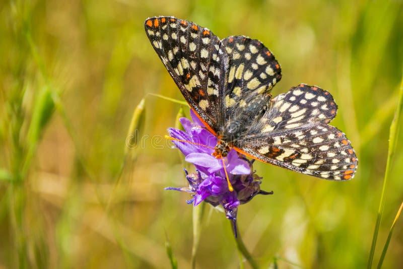 Sluit omhoog van een veranderlijke checkerspotvlinder het drinken nectar van een blauwe wildflower, de baaigebied van San Francis stock foto's