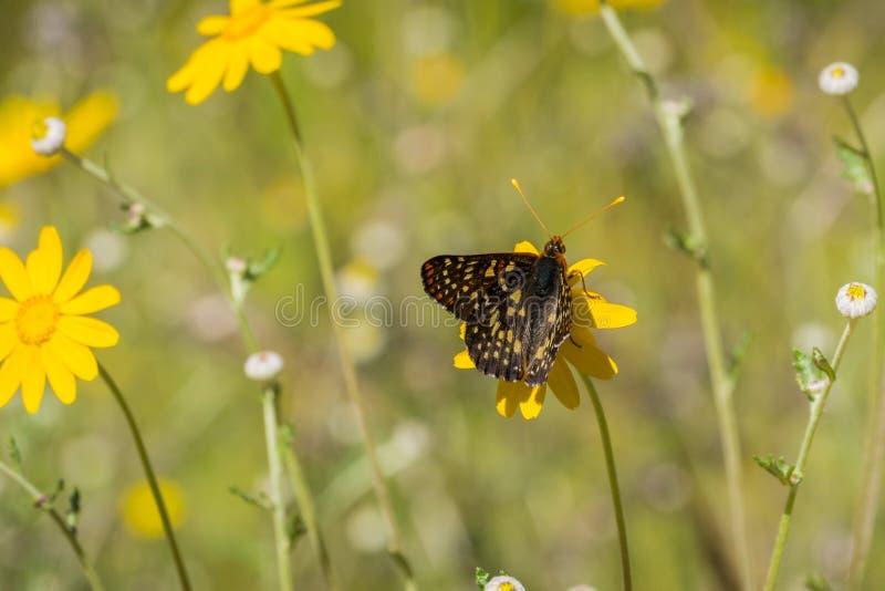 Sluit omhoog van een veranderlijke checkerspotvlinder het drinken nectar van een wildflower, Napa-Vallei, Californië royalty-vrije stock foto