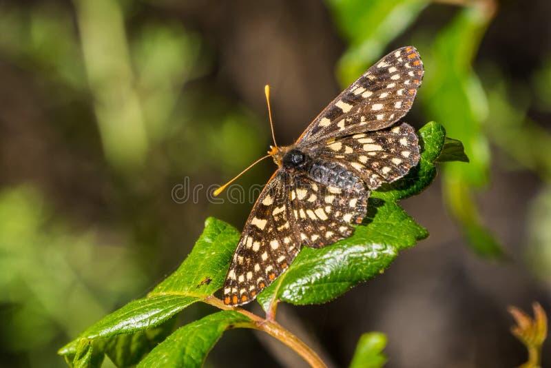 Sluit omhoog van een veranderlijke checkerspotvlinder rustend op een vergift eiken blad, de baaigebied van San Francisco, Califor stock fotografie