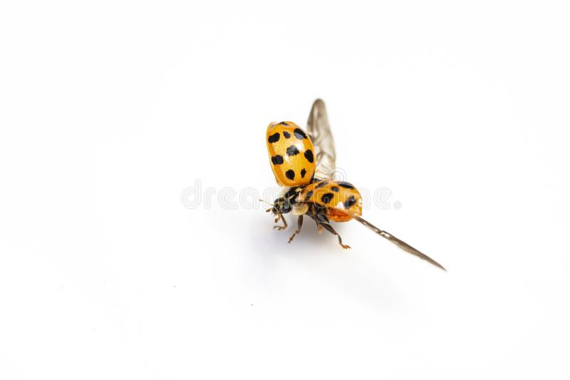 Sluit omhoog van een Vliegend Onzelieveheersbeestjelieveheersbeestje op Witte Achtergrond stock foto's