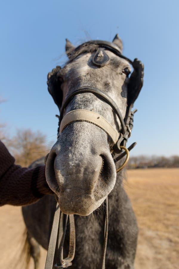 Sluit omhoog van een vrouwelijk paardhoofd met de hand van een ruiter Paard buiten op een weide bij de herfst royalty-vrije stock foto