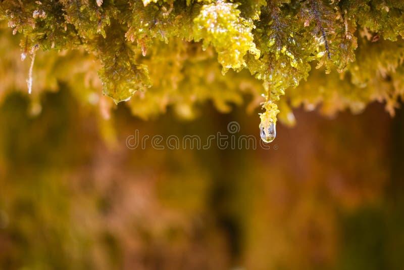 sluit omhoog van een waterdaling van kristalwater die van het natte groene mos druipen en bijna aan de vloer in een zonnige dag v stock foto's