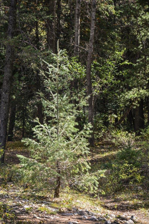 Sluit omhoog van een weinig Pijnboomboom het Groeien in het Licht stock foto's