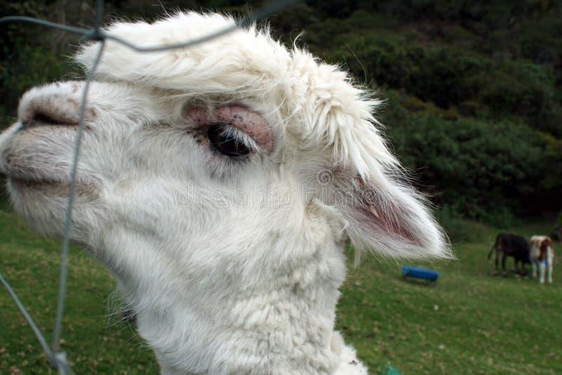 Sluit omhoog van een witte lama stock foto's